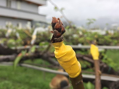 高低溫差劇 三星梨穗受損5成以上