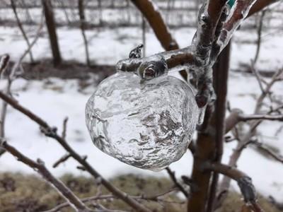 冰封「幽靈蘋果」掛樹枝 一融化成「蘋果泥」