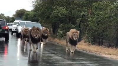 南非國家公園4隻獅子逛大街