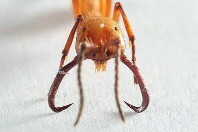 行軍蟻年吃10萬獵物還能助縫合