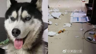 迷路二哈被送警局 亂咬文件碎滿地「到處拆家」 警察杯杯投降:報警吧