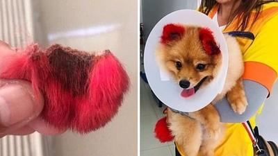 耳朵整片掉下來!鏟屎官強迫愛犬染毛 淚訴美容店藥劑太強會腐蝕