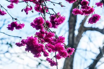 看花不用人擠人 這6所大學有賞櫻秘境