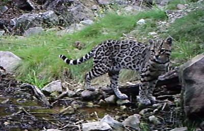 罕見虎貓現蹤邊界 圍牆威脅棲地