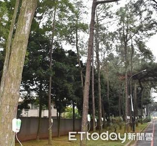「松材線蟲」危害 中央大學松樹吊點滴