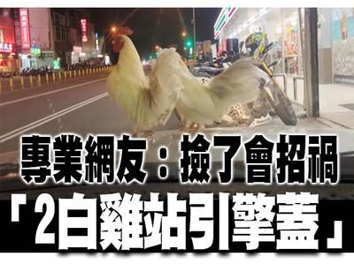 2白雞站她車上!網警告:撿了會招禍