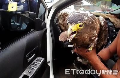 轎車忽快忽慢遭攔查 一開門驚見「大冠鷲」
