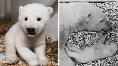 北極熊寶寶「未滿足歲」首亮相!天然呆口水狂流 一夕躍升人氣王