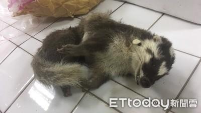 9縣市、84鄉鎮有狂犬病!去年鼬獾確診72件
