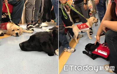 巧遇導盲犬軍團披紅背心實習中