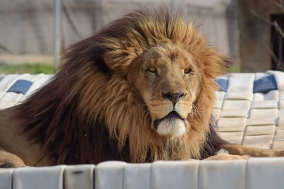動物園22歲女員工遭獅子咬頸斷命