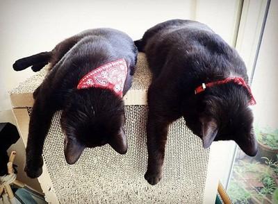黑貓雙胞胎複製腦波! 超萌「1比1同步動作」其實背後有洋蔥