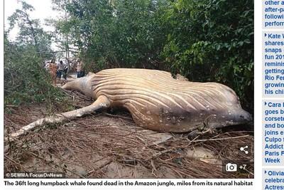 10噸座頭鯨 離奇死在亞馬遜叢林