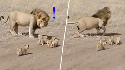 不要跟著我啦!公獅跑給四隻小獅子追 不想帶小孩快要崩潰