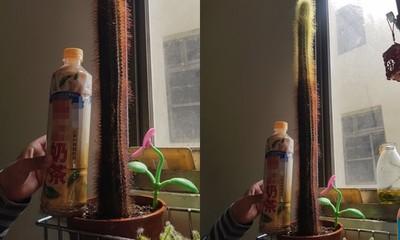 夜市買仙人掌!他8年養出「驚人身高」