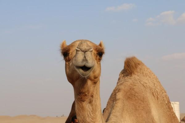 沙漠中遇見死亡駱駝...專家勸:快逃!屍體有如「生化武器」隨時會爆炸