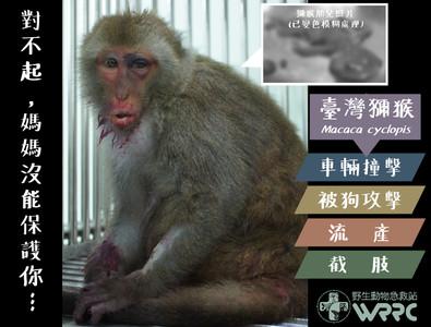 母猴遭撞 住院流出有四肢血肉塊