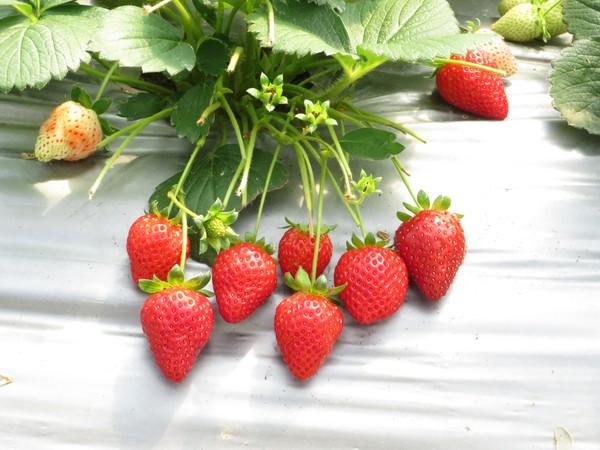 ▲2019內湖草莓季。(圖/臺北市政府產業發展局)