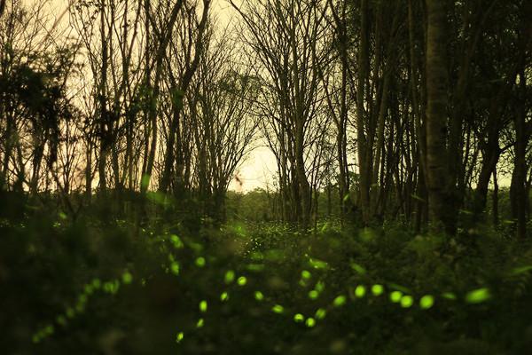 ▲▼ 美到像銀河!花蓮五星飯店帶路 夜訪全台最強螢火蟲秘境。(圖/花蓮林管處提供)