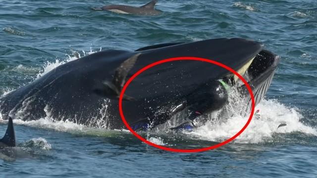 浮出水面一口含住攝影師! 傻鯨魚停頓三秒才吐掉,搖搖尾鰭逃離現場