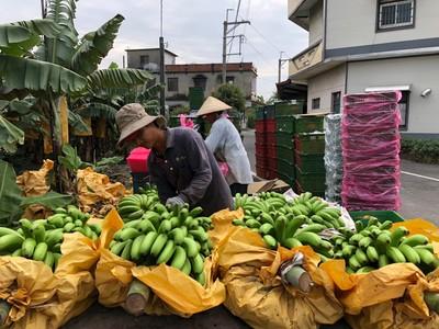 王令麟幫忙賣美濃外銷等級香蕉