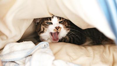 腎貓「口鼻散發尿臭味」!3種初期症狀快筆記 等主子瘋狂喝水已來不及