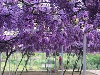 紫藤、吉野櫻!春日「必追5大花海」