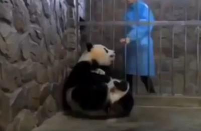 飼育員一蘋果 貓熊媽忘了崽子