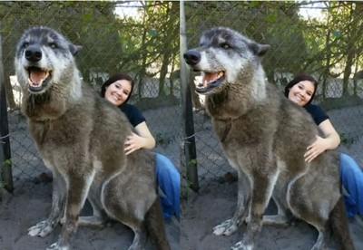 這狼犬超大!網友嚇傻:怎麼拍的?
