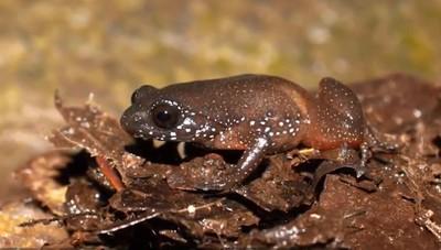 新物種星夜侏儒蛙 藏6千萬年沒人發現