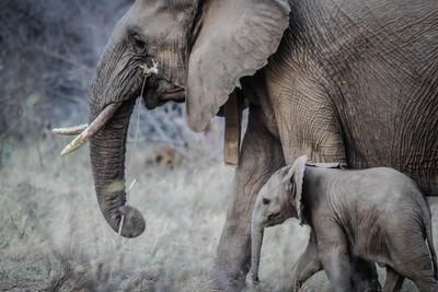 大象眼中的「人類很可愛」 研究員指出:就像我們會被小狗萌到一樣