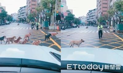 汪汪軍團集體過馬路!警察急指揮