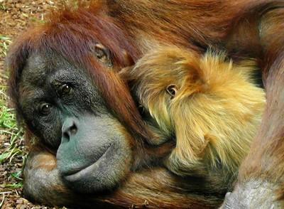 他帶超大行李闖關 拉開驚見紅毛猩猩睡死