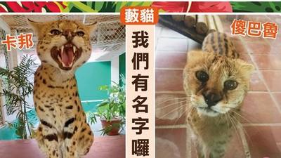 頑皮世界藪貓投票命名「傻巴魯」 連日本人都歡呼:正直善良回來啦