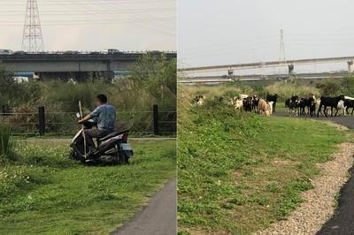 新竹「牧羊人」放任羊群隨地嗯嗯