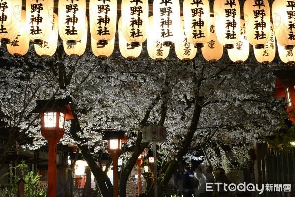 ▲▼京都平野神社夜櫻。(圖/京都市台灣推廣事務所)