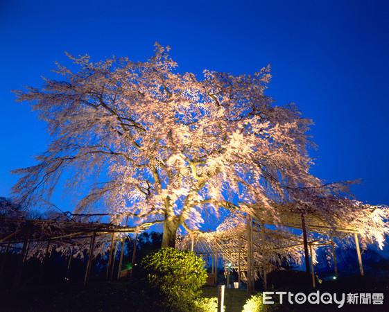 ▲▼京都祇圓山公園夜櫻。(圖/京都市台灣推廣事務所)