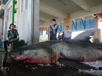 4米長大白鯊宜蘭東澳海域被捕獲