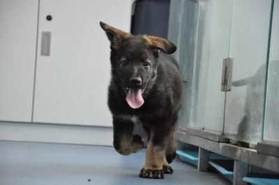 大陸首隻「複製警犬」繼承一級功勳犬