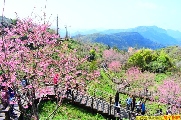 你去過了沒?嘉義3條絕美步道 粉嫩櫻花、孟宗竹林超療癒