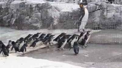 小藍企鵝恭迎國王!整群集合追著走,小短腳差點跟不上