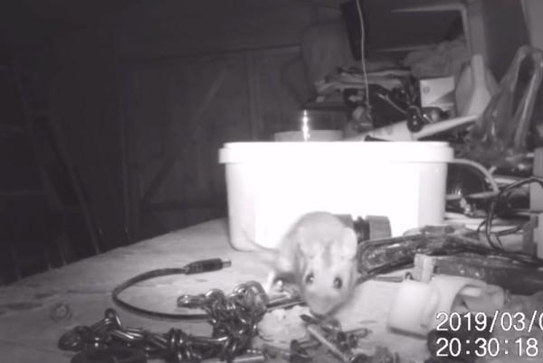 雜亂工作台神奇變乾淨 他偷拍驚見「潔癖鼠」狂掃2小時