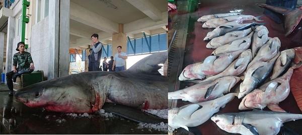 影/抓4公尺白鯊「1屍15命」漁民被撻伐 專家坦言「沒辦法放生」…他只是遵守規定