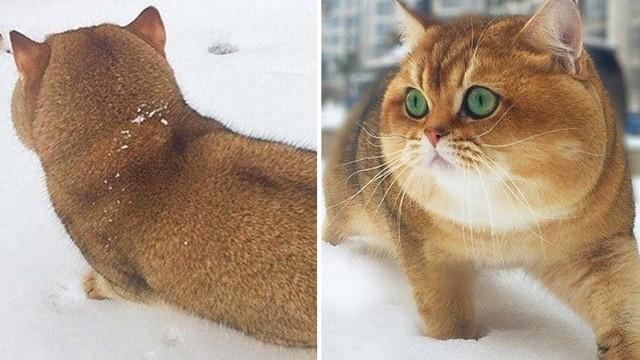 連動物都是戰鬥民族!以為發現胖柴背影,定睛嚇歪:這貓比狗大