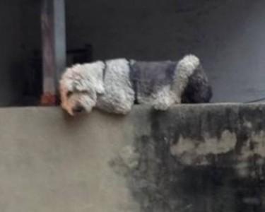 大狗爬牆被丟石頭 背後有洋蔥