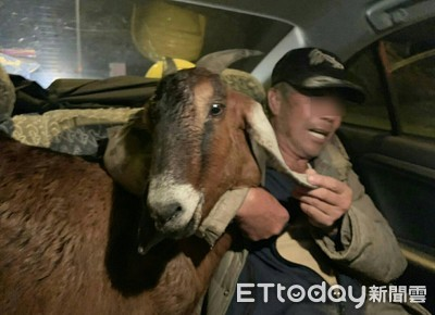 山羊誤入台66快速道路 警民圍捕1小時