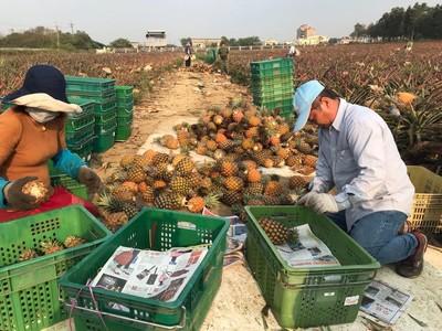 鴻海購買高雄農產 672箱鳳梨進深圳富士康