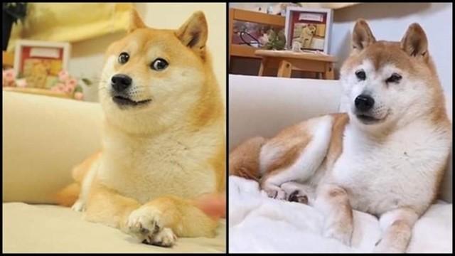 一代梗圖狗「Doge」已經這麼老...牠會永遠活在meme中