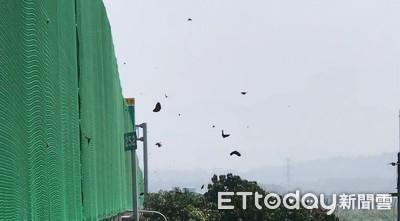 紫斑蝶「每分鐘1200隻↑」 飛過國道