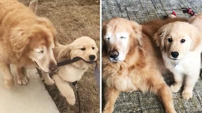 咬住牽繩怕牠撞到!黃金幼犬自願當「全盲老狗的雙眼」飼主感動哭了